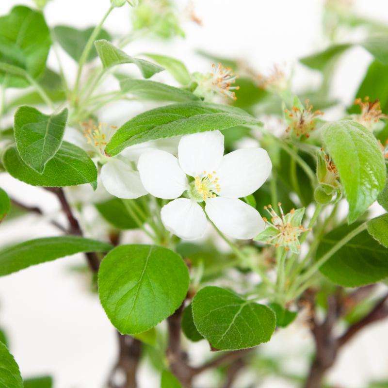 Malus evereste - Apple tree - 40 cm