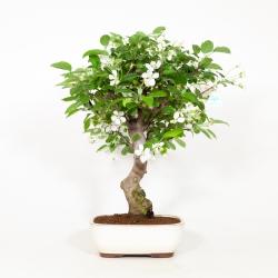 Malus evereste - Apple tree - 60 cm