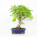 Malus evereste - Apple tree - 56 cm