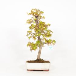 Acer palmatum - Acero - 51 cm