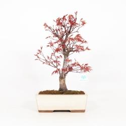 Acer palmatum Nomura - Acero - 48 cm