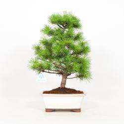 Pinus pentaphylla - Pine - 43 cm