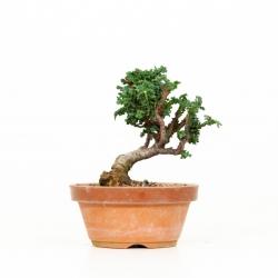 Chamaecyparis sekka - 13 cm