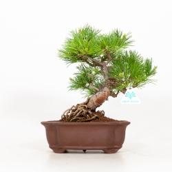 Pinus pentaphylla - Pin à cinq aiguilles - 30 cm