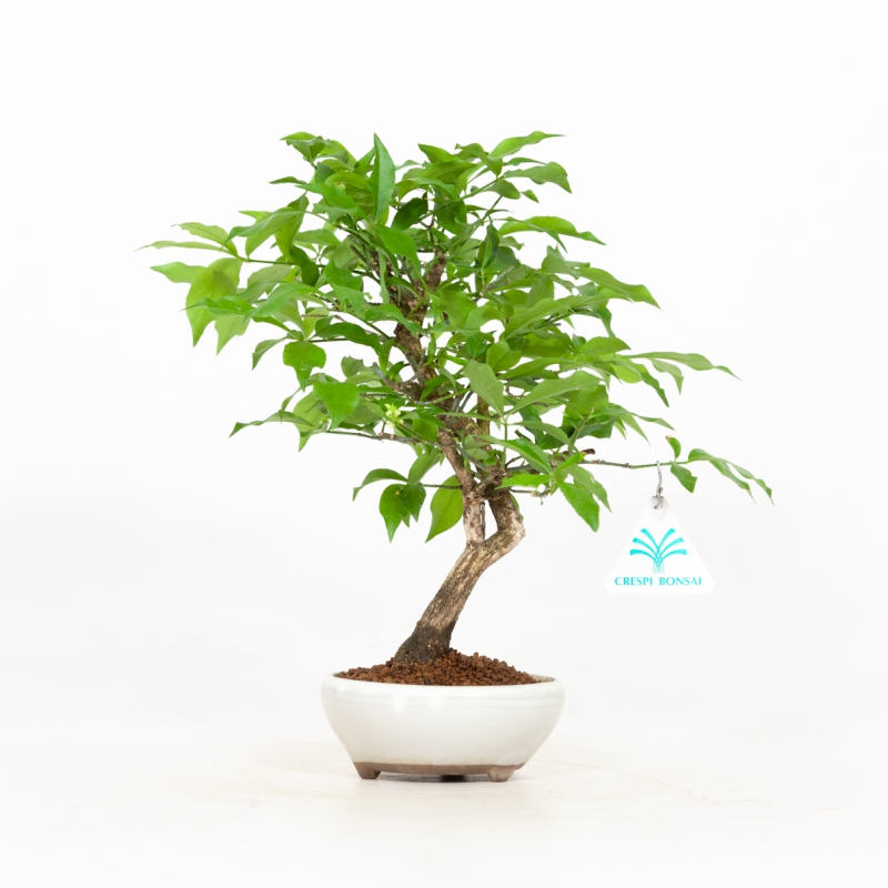 Euonymus - Spindle - 28 cm