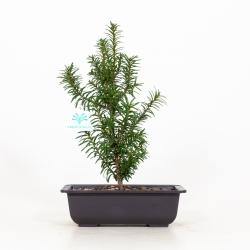 Taxus cuspidata - Tasso - 33 cm