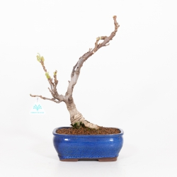 Wisteria floribunda - Glicine - 43 cm