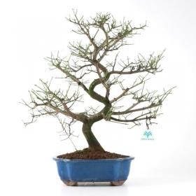Euonymus - Evonimo - 53 cm