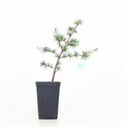 Cedrus Atllantica Glauca - 36 cm