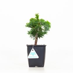Chamaecyparis obtusa nana gracilis - 23 cm