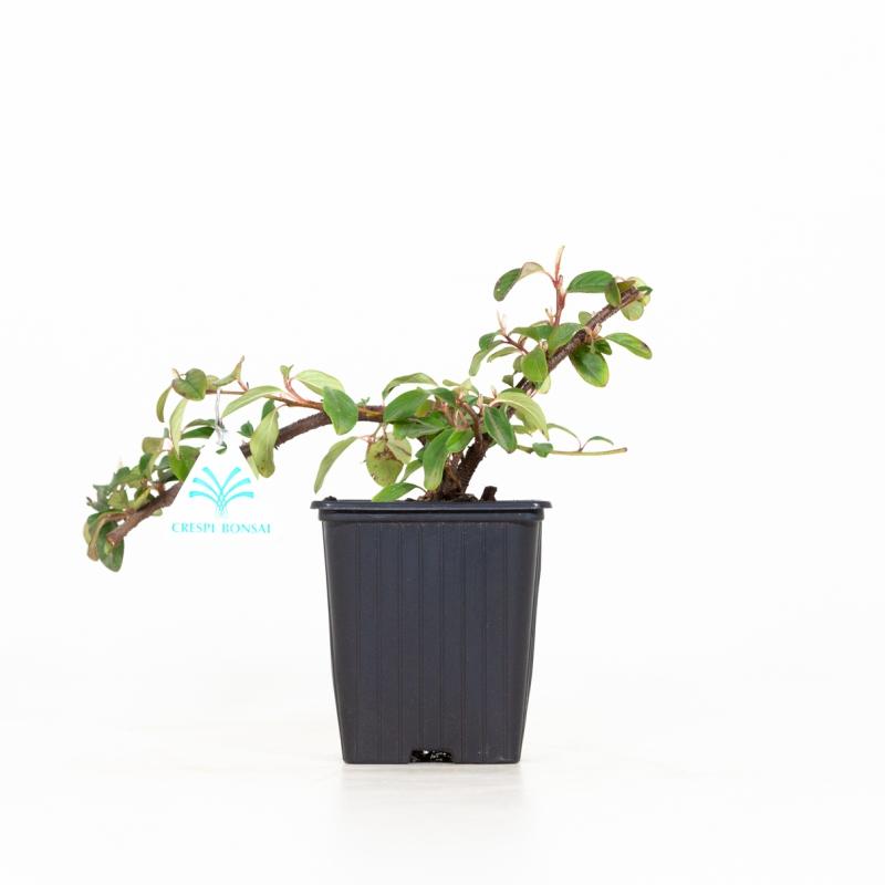 Cotoneaster Dammeri - 19 cm