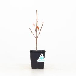 Acer palmatum - Acero - 32 cm