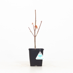 Acer palmatum - Maple - 32 cm