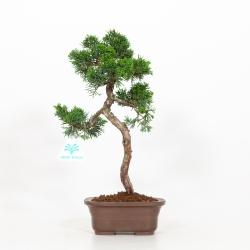 Juniperus Chinensis - Genévrier du Chine- 35 cm