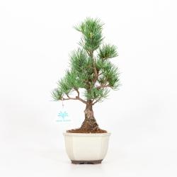 Pinus pentaphylla - Pin à cinq aiguilles - 34 cm