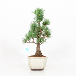 Pinus pentaphylla - Pino - 34 cm
