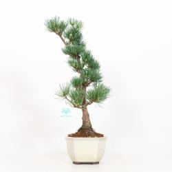 Pinus pentaphylla - Pino - 40 cm