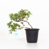 Rhododendron Indicum - Azalea - 24 cm