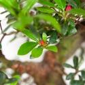 Rhododendron Indicum Iwaiboshi - Azalea Iwaiboshi - 58 cm