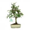 Euonymus alata - Evonimo alato - 18 cm