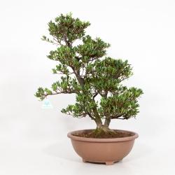 Rhododendron Indicum Shinzan - Azalée Shinzan - 60 cm