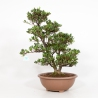Rhododendron Indicum Shinzan - Azalea Shinzan - 60 cm