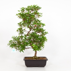 Rhododendron Indicum Ariran - Azalée Ariran - 61 cm