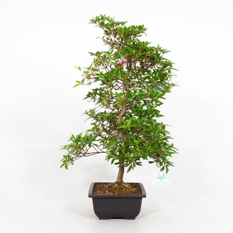 Rhododendron Indicum Ariran - Azalea Ariran - 61 cm