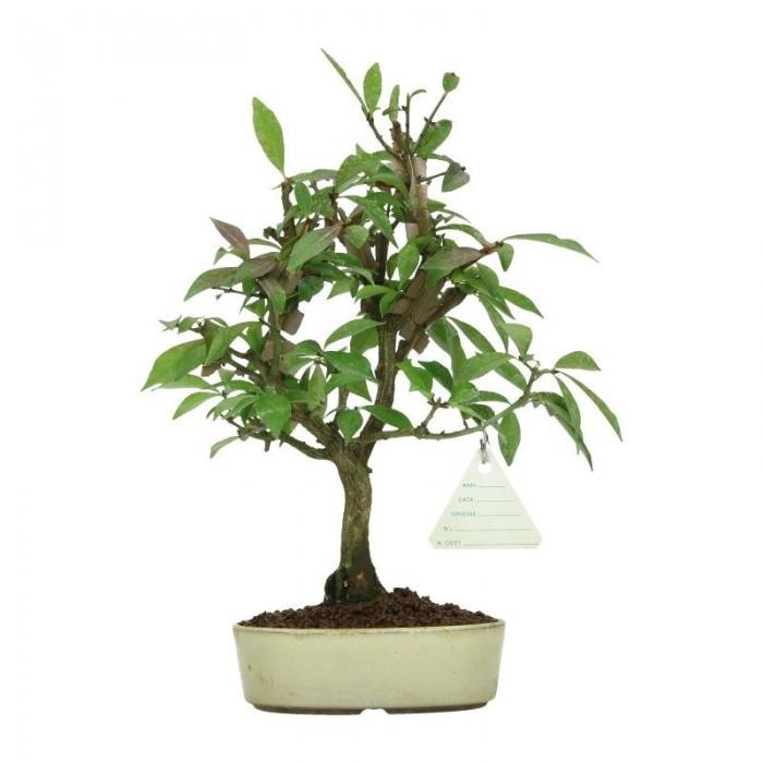 Euonymus alata - Evonimo alato - 27 cm