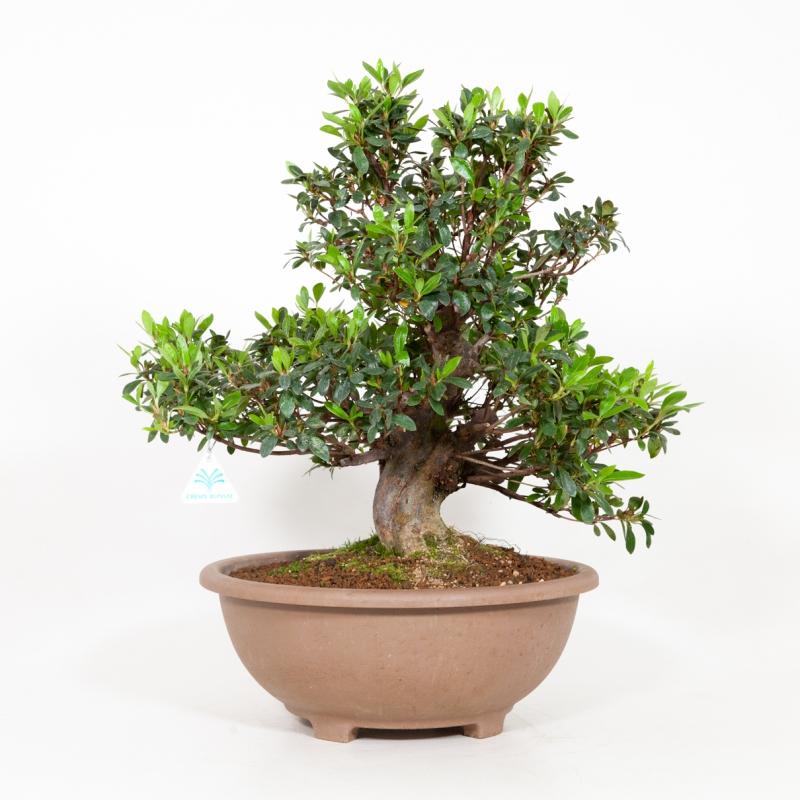 Rhododendron Indicum Iwaiboshi - Azalea Iwaiboshi - 54 cm