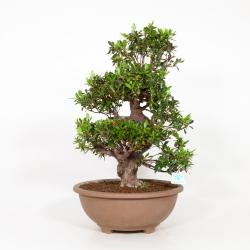 Rhododendron Indicum Iwaboshi - Azalée Iwaiboshi - 63 cm