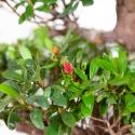 Rhododendron Indicum Iwaiboshi - Azalea Iwaiboshi - 63 cm