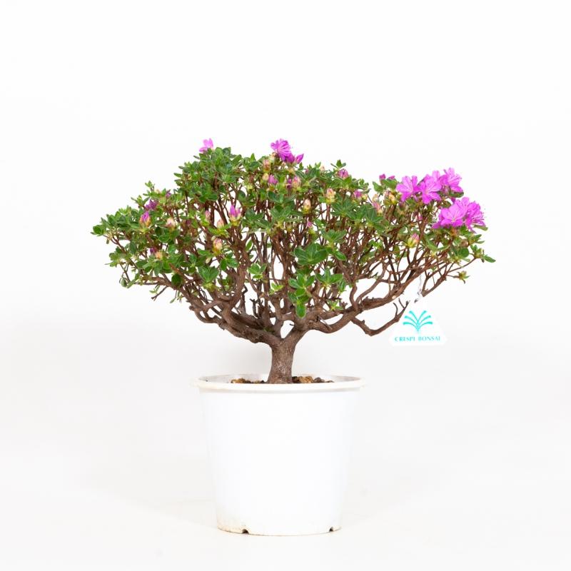 Rhododendron Indicum - Azalea - 32 cm