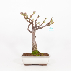 Wisteria floribunda - Wisteria - 39 cm