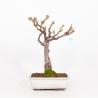 Wisteria floribunda - Glicine - 39 cm