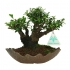Eurya japonica - 18 cm
