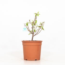 Prunus Okame - 37 cm
