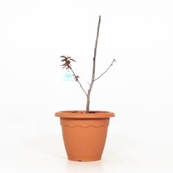 Prunus Cerasifera atropurpurea - 47 cm