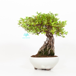 Rhododendron Indicum - Azalea - 29 cm