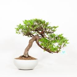 Rhododendron Indicum - Azalée - 37 cm