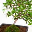 Rhododendron Indicum Senbazuru - Azalea - 38 cm