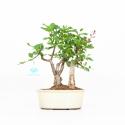 Syringa vulgaris - Lillà - 25 cm