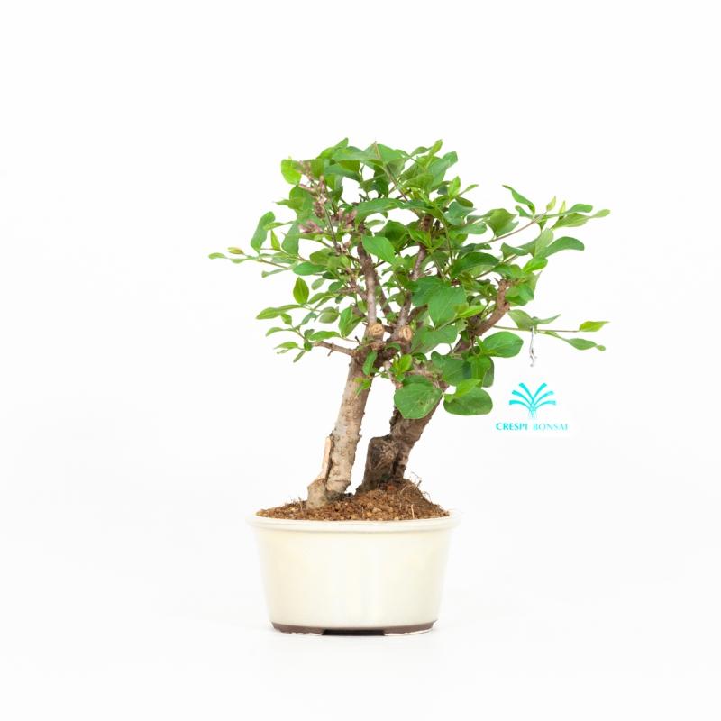 Syringa vulgaris - Lilac - 25 cm