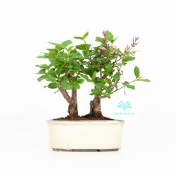 Syringa vulgaris - Lilas - 22 cm