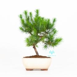 Pino halepensis - 27 cm