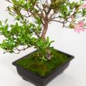 Rhododendron Indicum Sakurakomachi - Azalea - 50 cm