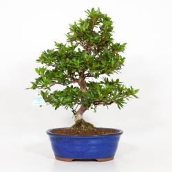 Rhododendron Indicum Santoka - Azalée - 49 cm