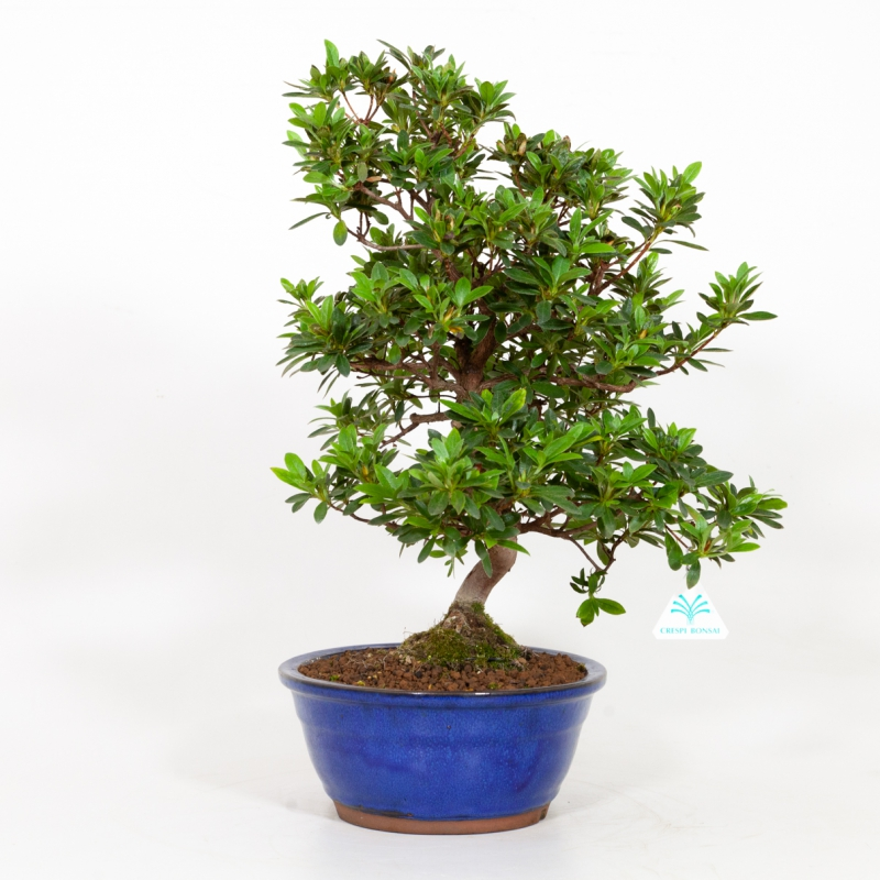 Rhododendron Indicum Santoka - Azalea - 49 cm