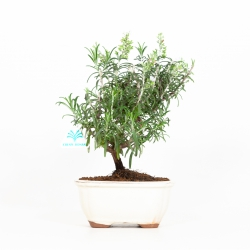 Rosmarinus officinalis - Rosmarino - 30 cm