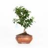 Citrus Myrtifolia - Chinotto - 32 cm